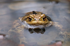 Common toad in the water close-up France
