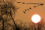 Common Cranes in flight at sunset France
