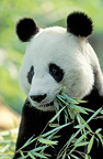 Giant panda eating bamboo (captive )