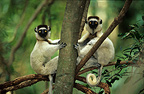 Verreaux's sifakas sitting in a tree Madagascar