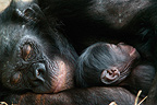 Female bonobo and four-day-old baby Congo