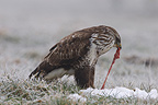 Common Buzzard skinning its prey in winter France