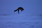Red fox pouncing in a snowy field at dusk, France