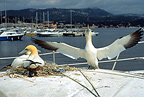 Northern Gannets nesting on a boat in a port France