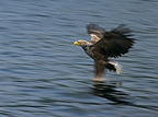 White-tailed Eagle with prey in its talons, Europe
