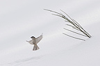 Black-bibbed Marsh Tit in flight with snow, Vosges Mountains, France