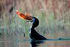 Great Cormorant swallowing a Crucian carp