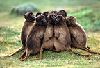Young Gelada baboons huddling together, Ethiopia