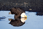 Bald eagle seeking food on a beach Alaska