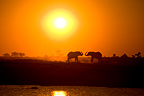 African elephants at sunset, Chobe NP, Botswana