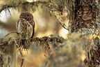 Pygmy Owl female on a branch Queyras Hautes-Alpes France