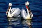 Dalmatian Pelicans swimming on Lake Kerkini Greece