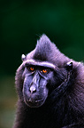 Celebes crested macaque (Celebes Black Macaque) Portrait Sulawesi Indonesia