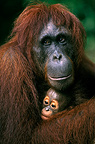 Female orangutan carrying her young, Borneo, Indonesia