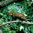 Young European Pine Marten on a branch Germany