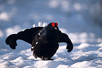 Courtship display of a male Black grouse in spring, Queyras, France