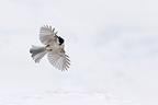 Marsh Tit in flight above the snow Vosges France