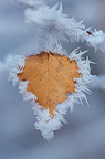 European white birch leaf with frost, Vosges, France