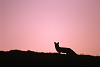 Red fox silhouette at dawn