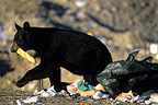 Black Bear in a refuse dump, Qu�b�c, Canada