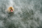 Young Japanese Macaque swimming in a warm spring Japan