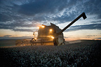 Combine harvester Harvesting wheat at sunset with lights on, France