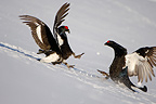 Black grouse fight during courtship, Savoie France