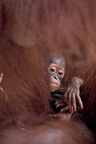 Baby Orang-utang in the arms of his mother Indonesia