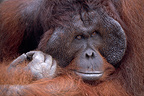 Face of a male Orang-utang Kalimatan Indonesia