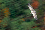 Eurasian Griffon vulture flying France