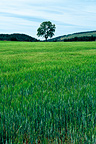 Tree and wheat field in summer Loz�re France