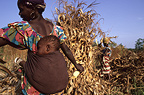 Women collecting of the corn Yanfolila Mali