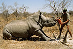 Horn cutting on a white Rhinoceros, as protection form poachers, Zimbabwe