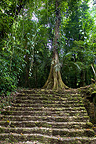 Staircase of the Mayas ruins in the tropical forest, Mexico