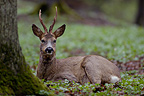 Yearling male roe deer lying down in the litter in forest, France