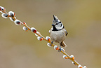 Crested Tit on a branch Savoy France