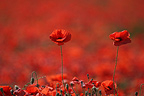 Field of Poppies France�