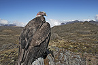 Andean Condor in the Andes of Merida Venezuela