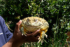African bullfrog held by a man South Africa
