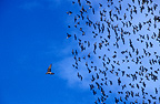 Group of Common starlings being chased by a falcon Europe