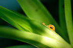 Eye of tree frog peeking over the leaf of a  bromeliad Costa Rica