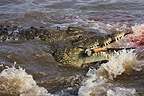 Nile Crocodile eating a gazelle Masa� Mara reserve Kenya