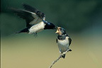 Adult Barn swallow feeding a young fedgling while in flight