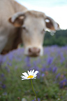 Charolaise cattle and Oxeye daisy in Sage meadow Lozère