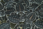 New-born Green Sea Turtles in a breeding farm Mexico
