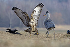 Grey heron and Common buzzard fighting over prey, France (Common buzzard; Grey Heron )
