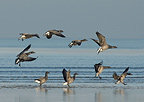 Group of Pale bellied Brent Geese in Saint Brieuc Bay, France