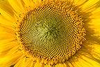 Flower of sunflower France
