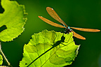 Dragonfly casting Chinese shadow on filbert leaf France