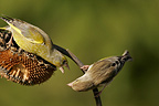 Greenfinch defending his meal on a sunflower France